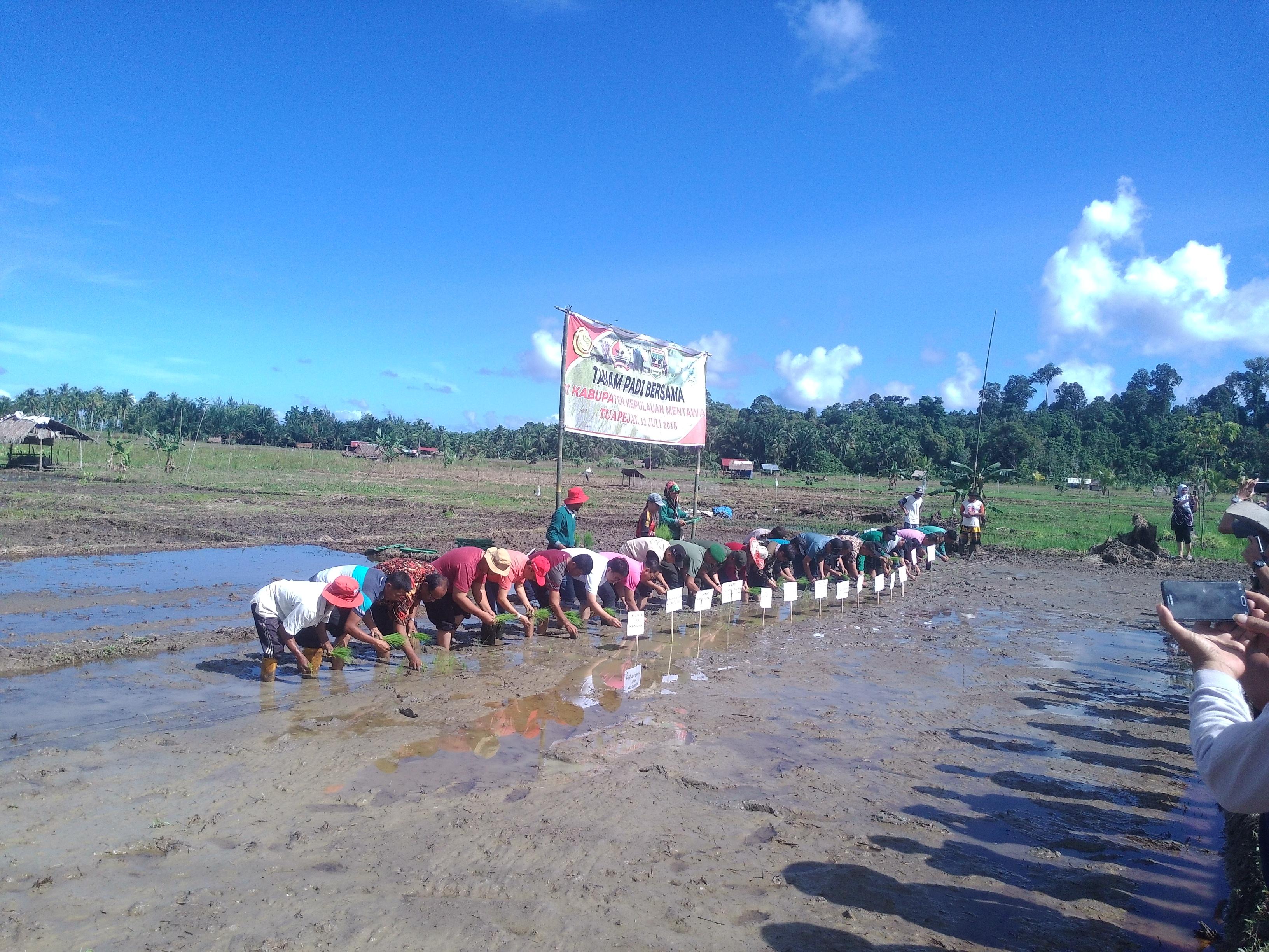 Gerakan Tanam Padi Bersama di Mentawai
